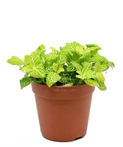 فيتونيا خضراء
