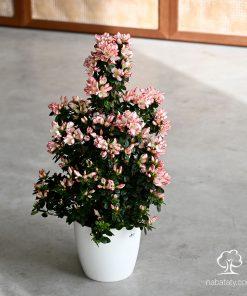ازاليا ازهار بيضاء باطراف وردية